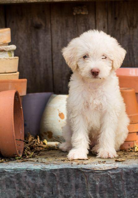 Labradoodle-Puppy-Safari-Doodle