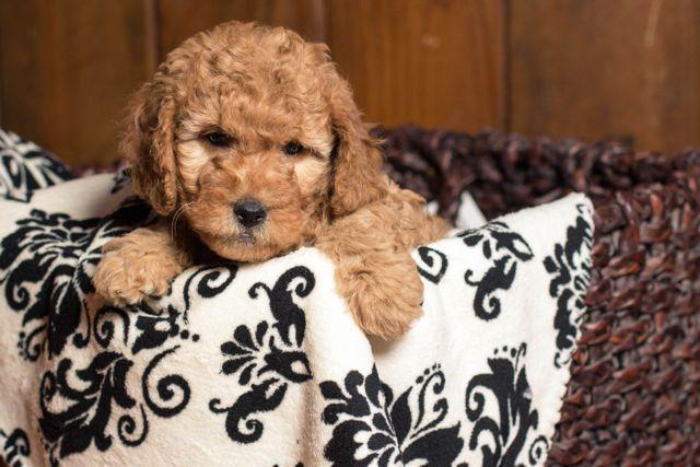 Goldendoodle-Puppy-Safari-Doodle