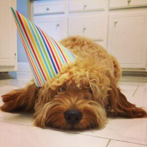 Safari-Goldendoodle-Birthday