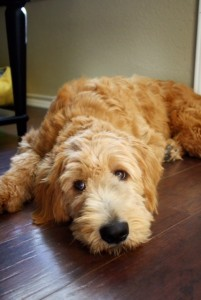 IndiAnna: standard English Goldendoodle