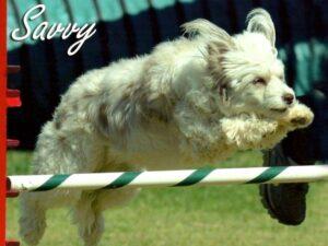 Savy, Agility dog