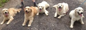 family of european golden retrievers in texas