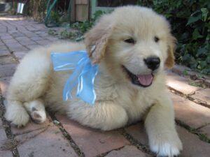 white golden retriever breeder in dallas texas