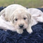 available cream golden retriever puppy near dallas tx