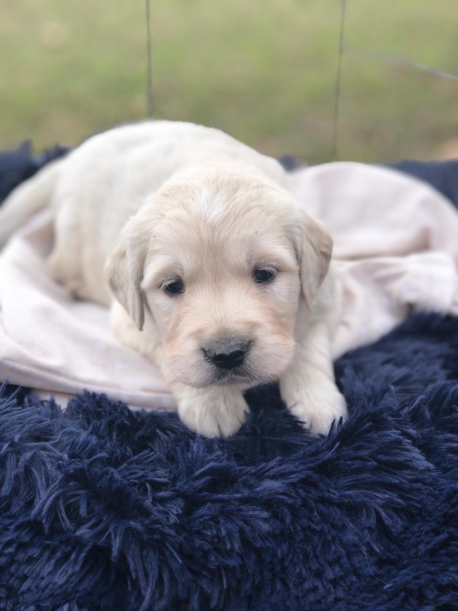 available cream golden retriever puppy near dallas tx