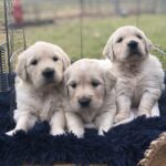 white golden retriever litter in texas