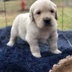 cream golden retriever breeder in dallas texas
