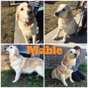 mother golden retriever, Mable
