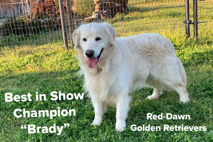 Brady, Best in Show Golden Retriever Breeder in Texas